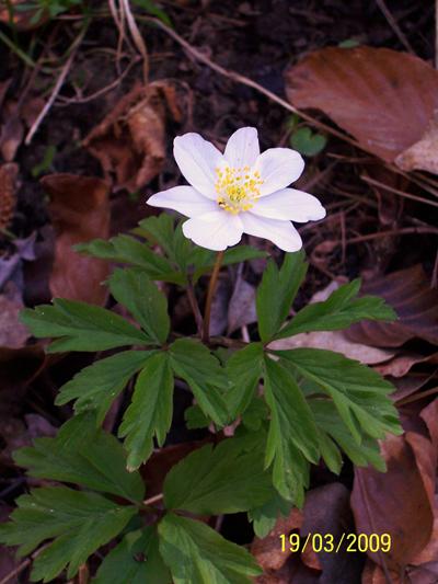 L'anémone sylvie, plante printanière des sous-bois de la hêtraie.